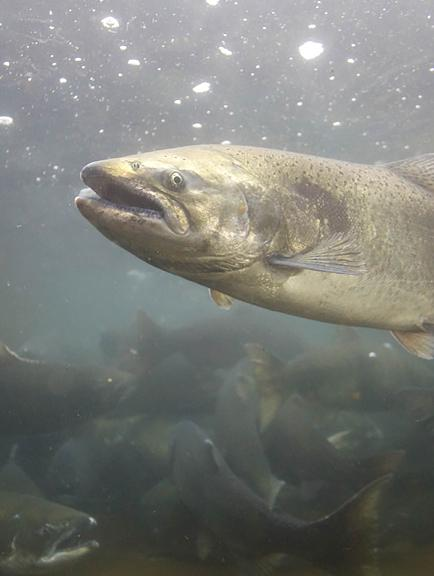 HOBO data loggers monitor dissolved oxygen and support healthy salmon growth