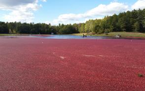 Buzzards Bay Coalition Study of Nutrients Lost During Cranberry Harvest Flooding
