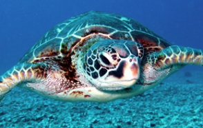 HOBO Data Loggers Aid Sea Turtle Preservation in Malaysia