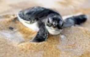 Florida Researcher Uses Data Loggers to Predict Sea Turtle Hatchling Gender