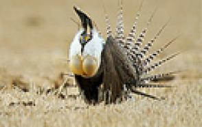 HOBO Weather Stations Aid the Gunnison Sage-Grouse