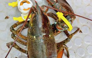lobster tagged with HOBO data logger