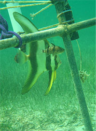 Batfish and cardinal fish next to a HOBO Temperature Logger in a seagrass site at the NDIA