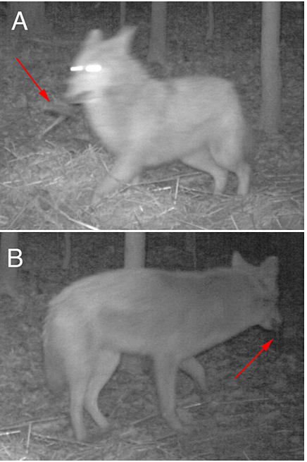 An eastern coyote (Canis latrans) removing Hobo temperature logger